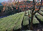 Ujitawarakaki202