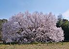 Sakuraterada102