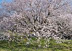 Sakuraterada103