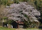 Sakurakintetu101_01