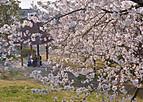Sakurakintetu301