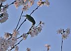 Sakurakintetu502