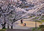 Sakurakintetu701