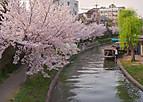 Fusimisakura101_01