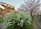 Fusimisakura502_2