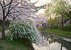 Fusimisakura701