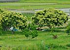 Shoumanhana601